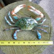 """plastic blue crab nautical decor 10"""""""