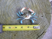 "4"" blue crab plastic replica"