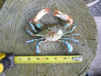 "6"" plastic blue crab replica"