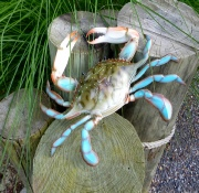 "large 17"" blue crab"