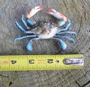 """4"""" plastic crab"""