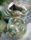 Lifelike plastic blue crab replicas. Nautical theme wall decor.