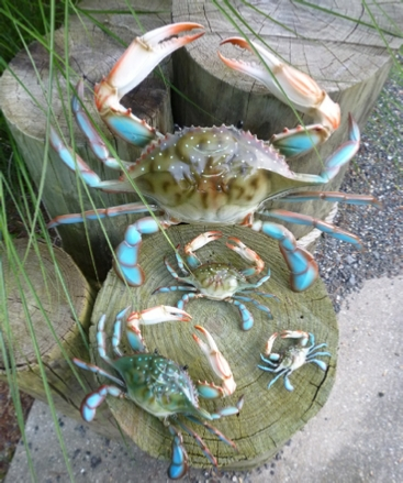 Nautical blue crab wall decor