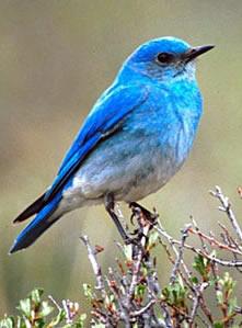 bluebird5.jpg