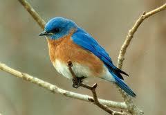 bluebird8.jpg