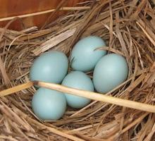 bluebird_eggs.jpg