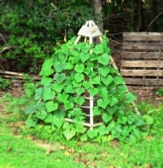 trellis covered in cucumber vines