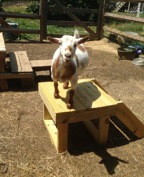 How to build a platform for your goats to stand on